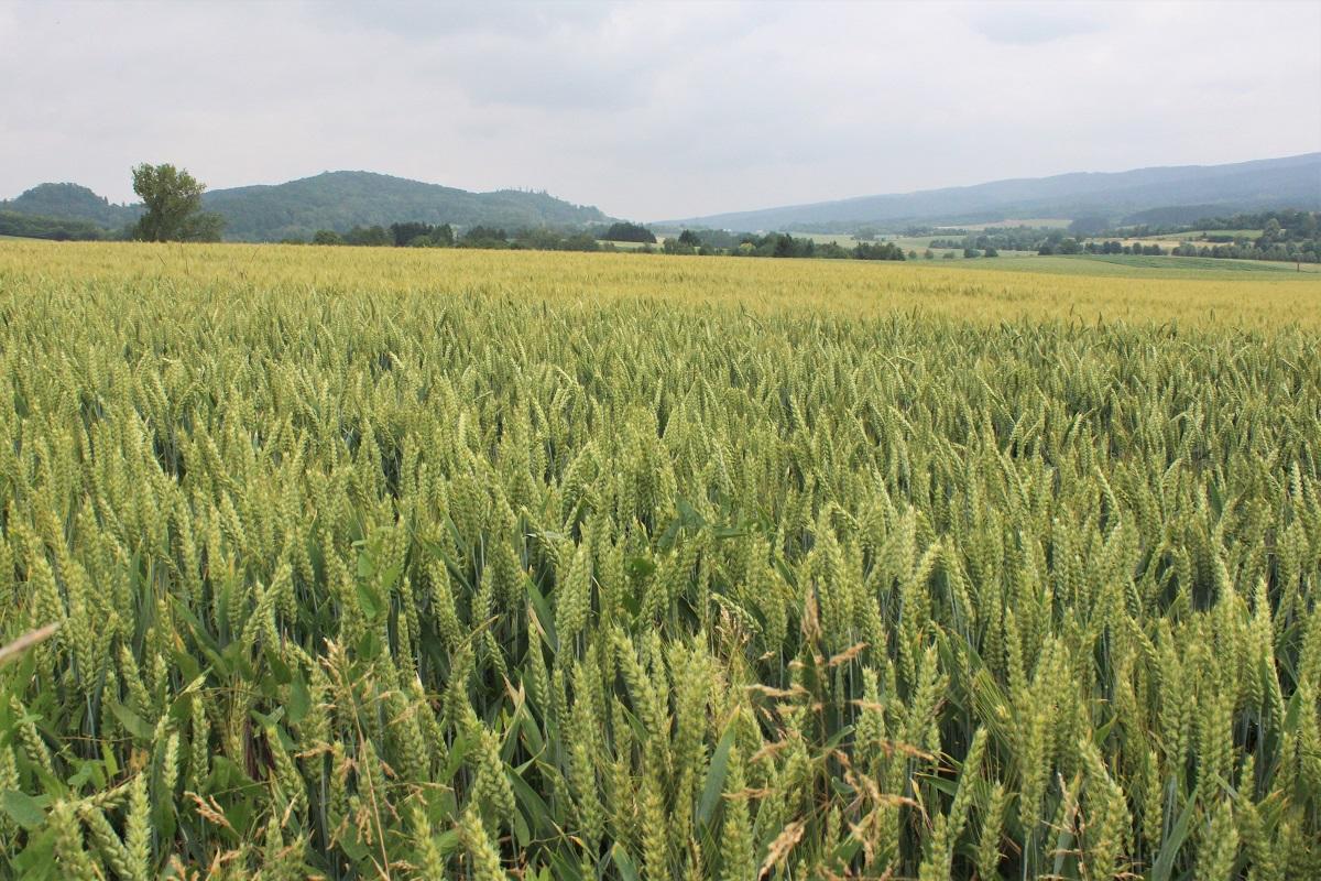 Landwirtschaft Weizen