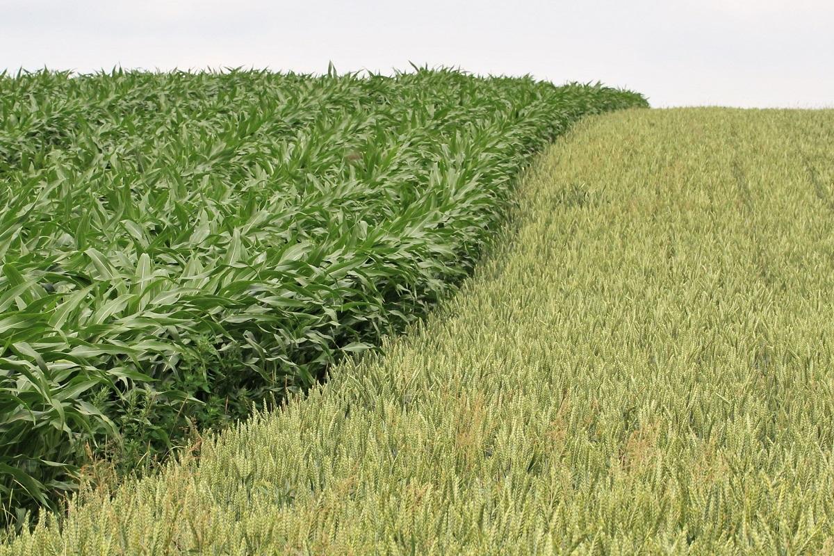 Landwirtschaft Mais