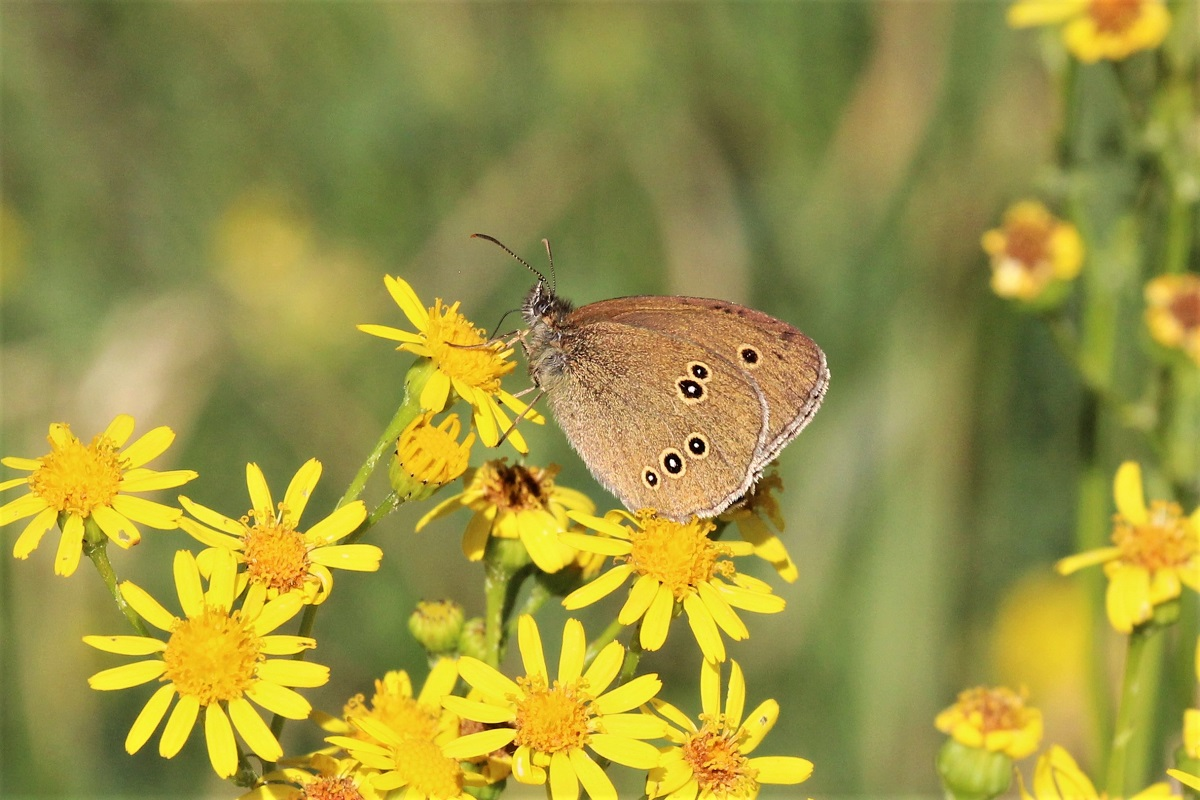 Schmetterlinge 2018 Juli Brauner Waldvogel