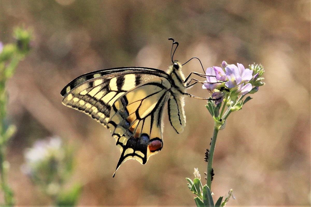 Schmetterlinge 2018 August Schwalbenschwanz
