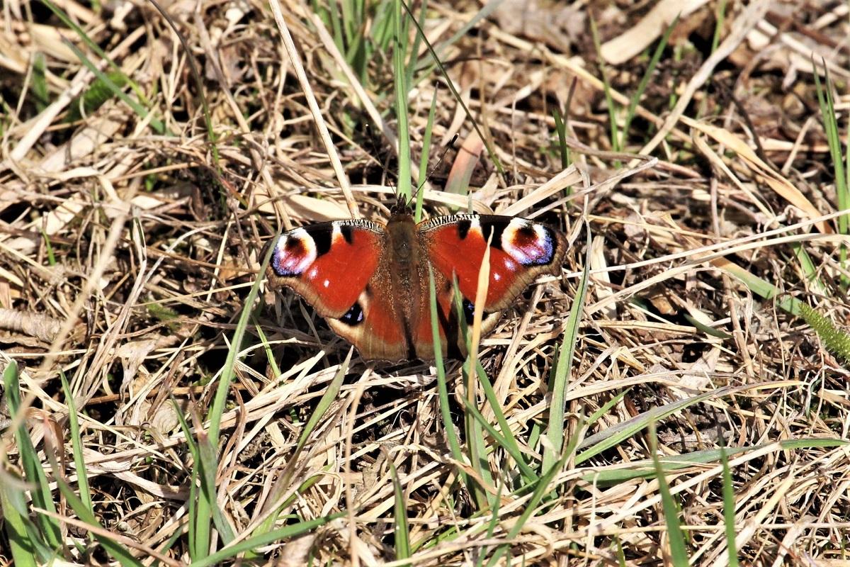 Schmetterlinge 2018 März Tagpfauenauge