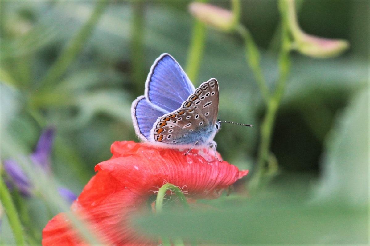 Schmetterlings 2018 Mai Hauhechelbläuling