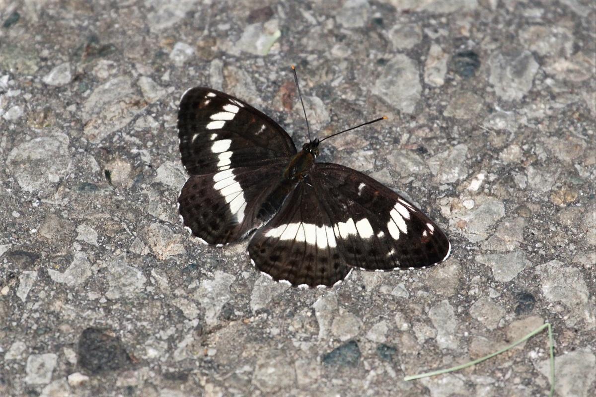 Schmetterlinge 2018 Juni Kleiner Eisvogel